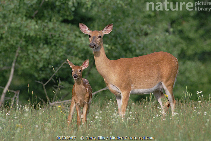 White-tailed Deer (Odocoileus virginianus) doe and fawn, North America, Color Image, Day, Deer, Doe, Family, Fawn, Front View, Full Length, Horizontal, Meadow, Mother, Nobody, North America, Odocoileus virginianus, Photography, Side View, Two Animals, White-tailed Deer, Wildlife,White-tailed Deer,North America, Gerry Ellis