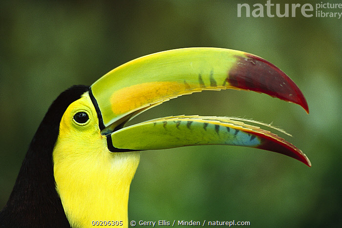 Keel-billed Toucan (Ramphastos sulfuratus) portrait showing barbed tongue, native to Mexico and Central America  ,  Beak, Captive, Close Up, Color Image, Colorful, Day, Head and Shoulders, Horizontal, Keel-billed Toucan, Nobody, One Animal, Photography, Portrait, Profile, Ramphastos sulfuratus, Side View, Tongue, Toucan, Wildlife,Keel-billed Toucan,Beak, Captive, Close Up, Color Image, Colorful, Day, Head and Shoulders, Horizontal, Keel-billed Toucan, Nobody, One Animal, Photography, Portrait, Profile, Ramphastos sulfuratus, Side View, Tongue, Toucan, Wildlife  ,  Gerry Ellis