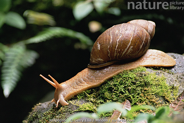 Snail in forest, Los Cedros River Valley, Ecuador  ,  Color Image, Day, Ecuador, Forest Habitat, Full Length, Horizontal, Los Cedros River Valley, Nobody, One Animal, Photography, Side View, Snail, Wildlife,Snail,Ecuador,Color Image, Day, Ecuador, Forest Habitat, Full Length, Horizontal, Los Cedros River Valley, Nobody, One Animal, Photography, Side View, Snail, Wildlife  ,  Gerry Ellis