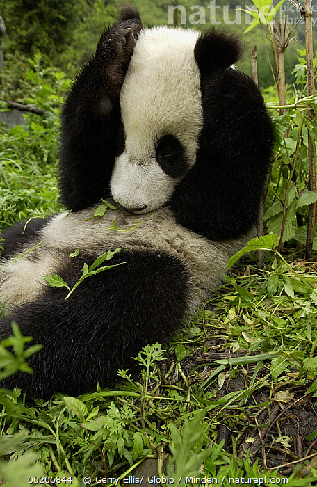 Giant Panda (Ailuropoda melanoleuca) young Panda laying in grass with paws over its head, at the China Conservation and Research Center for the Giant Panda, Wolong Nature Reserve, China  ,  Ailuropoda melanoleuca, China Research and Conservation Center for the Giant Panda, China, Color Image, Conservation, Cub, Cute, Day, Ear, Full Length, Giant Panda, Humor, Nobody, One Animal, Paw, Photography, Side View, Sound, Threatened Species, Vertical, Vulnerable Species, Wildlife, Wolong Nature Reserve,Giant Panda,China,Ailuropoda melanoleuca, China Research and Conservation Center for the Giant Panda, China, Color Image, Conservation, Cub, Cute, Day, Ear, Full Length, Giant Panda, Humor, Nobody, One Animal, Paw, Photography, Side View, Sound, Threatened Species, Vertical, Vulnerable Species, Wildlife, Wolong Nature Reserve  ,  Gerry Ellis