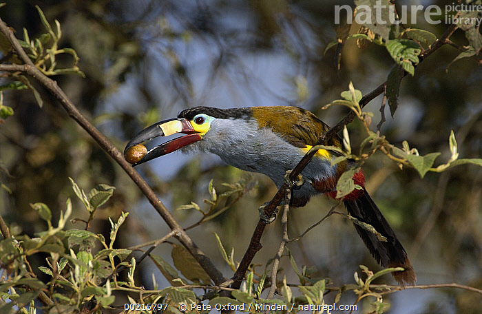 Plate-billed Mountain Toucan (Andigena laminirostris) perching in a tree with fruit in its large beak, Andes Mountains, Ecuador, Andigena laminirostris, Andes Mountains, Collecting, Color Image, Colorful, Day, Eating, Ecuador, Fruit, Full Length, Grabbing, Horizontal, ILCP, Nobody, One Animal, One Object, Perching, Photography, Plate-billed Mountain-Toucan, Rainforest, Side View, Toucan, Wildlife,Plate-billed Mountain Toucan,Ecuador, Pete Oxford