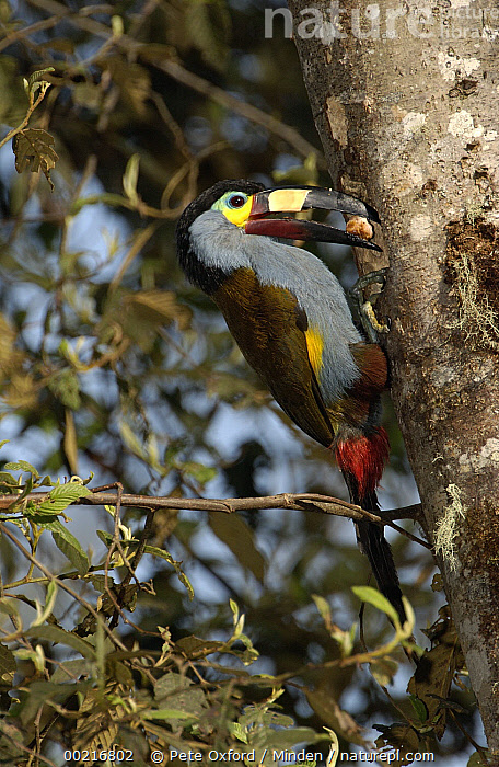Plate-billed Mountain Toucan (Andigena laminirostris) parent bringing food to young in nest cavity, Andes Mountains, Ecuador, Adult, Andigena laminirostris, Andes Mountains, Chick, Color Image, Day, Eating, Ecuador, Fruit, Full Length, Grabbing, ILCP, Nest, Nobody, One Animal, One Object, Parent, Perching, Photography, Plate-billed Mountain-Toucan, Side View, Toucan, Tree, Vertical, Wildlife,Plate-billed Mountain Toucan,Ecuador, Pete Oxford