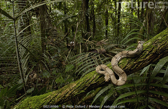 Boa Constrictor (Boa constrictor) coiled around a mossy tree branch in the rainforest, South America  ,  Boa constrictor, Coiled, Color Image, Day, Ecosystem, Forest Habitat, Full Length, Horizontal, ILCP, Nobody, One Animal, Photography, Rainforest, Rainforest Interior, Side View, South America, Tree, Tree Trunk, Wildlife,Boa Constrictor,South America  ,  Pete Oxford