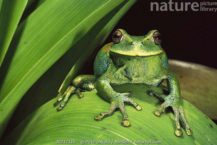 Marsupial Frog (Gastrotheca orophylax) in cloud the forest, Ecuador  ,  Adult, Camouflage, Color Image, Ecuador, Endangered Species, Frog, Front View, Full Length, Gastrotheca orophylax, Green, Horizontal, Humor, ILCP, Looking at Camera, Marsupial Frog, Nobody, One Animal, Photography, Smiling, Tropical, Wildlife,Marsupial Frog,Ecuador,Adult, Camouflage, Color Image, Ecuador, Endangered Species, Frog, Front View, Full Length, Gastrotheca orophylax, Green, Horizontal, Humor, ILCP, Looking at Camera, Marsupial Frog, Nobody, One Animal, Photography, Smiling, Tropical, Wildlife  ,  Pete Oxford