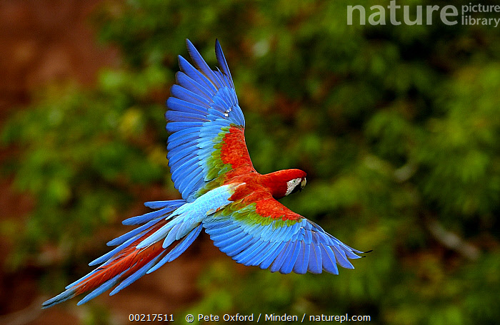 Red and Green Macaw (Ara chloroptera) flying, Cerrado habitat, Mato Grosso do Sul, Brazil  ,  Ara chloroptera, Brazil, Cerrado, Color Image, Colorful, Day, Full Length, Gliding, Green-winged Macaw, Horizontal, ILCP, Mato Grosso do Sul, Nobody, One Animal, Parrot, Photography, Red and Green Macaw, Side View, Wildlife,Red and Green Macaw,Brazil  ,  Pete Oxford