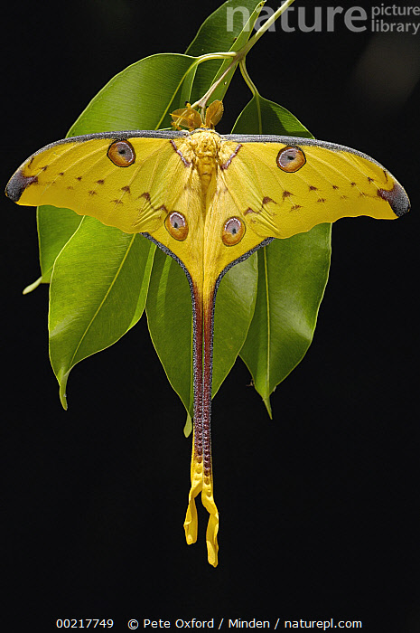 Madagascar Moon Moth (Argema mittrei) male on Jamun (Eugenia jambolana) leaves in the eastern highlands south of Antananarivo, Madagascar  ,  Antananarivo, Argema mittrei, Close Up, Color Image, Colorful, Eugenia jambolana, Full Length, High Angle View, Host Plant, ILCP, Insect, Jamun, Madagascar, Madagascar Moon Moth, Male, Moth, Nobody, One Animal, Photography, Rear View, Vertical, Wildlife, Yellow,Madagascar Moon Moth,Jamun,Eugenia jambolana,Madagascar,Antananarivo, Argema mittrei, Close Up, Color Image, Colorful, Eugenia jambolana, Full Length, High Angle View, Host Plant, ILCP, Insect, Jamun, Madagascar, Madagascar Moon Moth, Male, Moth, Nobody, One Animal, Photography, Rear View, Vertical, Wildlife, Yellow  ,  Pete Oxford