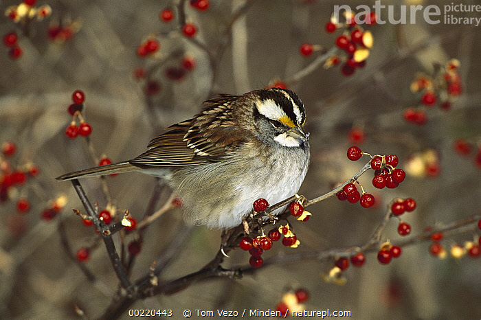 White-throated Sparrow (Zonotrichia albicollis) perched in Bittersweet bush, Long Island, New York  ,  Color Image, Day, Front View, Full Length, High Angle View, Horizontal, Long Island, New York, Nobody, One Animal, Perching, Photography, Songbird, Sparrow, USA, White-throated Sparrow, Wildlife, Zonotrichia albicollis,White-throated Sparrow,New York, USA,Color Image, Day, Front View, Full Length, High Angle View, Horizontal, Long Island, New York, Nobody, One Animal, Perching, Photography, Songbird, Sparrow, USA, White-throated Sparrow, Wildlife, Zonotrichia albicollis  ,  Tom Vezo
