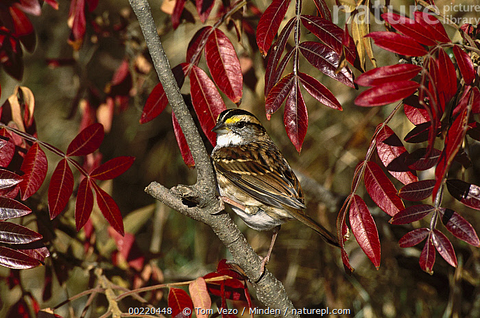 White-throated Sparrow (Zonotrichia albicollis) perching in autumn-colored bush, Long Island, New York  ,  Autumn, Color Image, Day, Full Length, Horizontal, Long Island, New York, Nobody, One Animal, Perching, Photography, Side View, Songbird, Sparrow, USA, White-throated Sparrow, Wildlife, Zonotrichia albicollis,White-throated Sparrow,New York, USA,Autumn, Color Image, Day, Full Length, Horizontal, Long Island, New York, Nobody, One Animal, Perching, Photography, Side View, Songbird, Sparrow, USA, White-throated Sparrow, Wildlife, Zonotrichia albicollis  ,  Tom Vezo