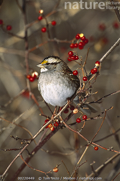 White-throated Sparrow (Zonotrichia albicollis) perching in Bittersweet bush, Long Island, New York  ,  Berry, Color Image, Day, Front View, Full Length, Long Island, New York, Nobody, One Animal, Perching, Photography, Songbird, Sparrow, USA, Vertical, White-throated Sparrow, Wildlife, Zonotrichia albicollis,White-throated Sparrow,New York, USA,Berry, Color Image, Day, Front View, Full Length, Long Island, New York, Nobody, One Animal, Perching, Photography, Songbird, Sparrow, USA, Vertical, White-throated Sparrow, Wildlife, Zonotrichia albicollis  ,  Tom Vezo
