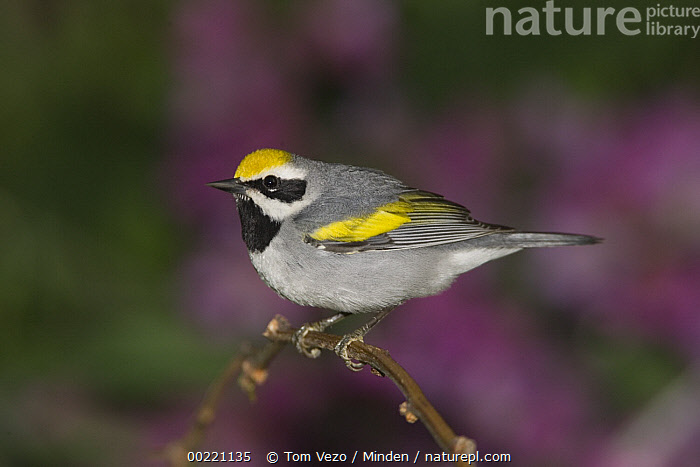 Golden-winged Warbler (Vermivora chrysoptera) male perched on branch, Rio Grande Valley, Texas  ,  Color Image, Day, Full Length, Golden-winged Warbler, Horizontal, Male, Nobody, One Animal, Outdoors, Perching, Photography, Rio Grande Valley, Side View, Songbird, Texas, USA, Vermivora chrysoptera, Warbler, Wildlife,Golden-winged Warbler,Texas, USA,Color Image, Day, Full Length, Golden-winged Warbler, Horizontal, Male, Nobody, One Animal, Outdoors, Perching, Photography, Rio Grande Valley, Side View, Songbird, Texas, USA, Vermivora chrysoptera, Warbler, Wildlife  ,  Tom Vezo