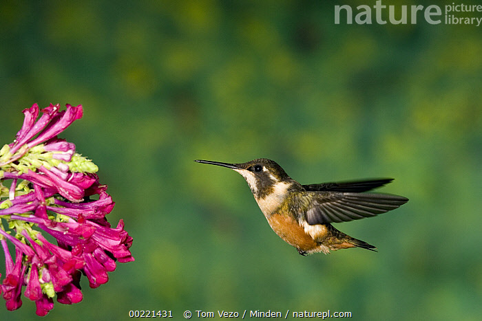 White-bellied Woodstar (Acestrura mulsant) hummingbird hovering near flower, Andes, Ecuador  ,  Andes Mountains, Chaetocercus mulsant, Color Image, Day, Ecuador, Full Length, Horizontal, Hovering, Nobody, One Animal, Outdoors, Photography, Side View, White-bellied Woodstar, Wildlife,White-bellied Woodstar,Ecuador,Andes Mountains, Chaetocercus mulsant, Color Image, Day, Ecuador, Full Length, Horizontal, Hovering, Nobody, One Animal, Outdoors, Photography, Side View, White-bellied Woodstar, Wildlife  ,  Tom Vezo