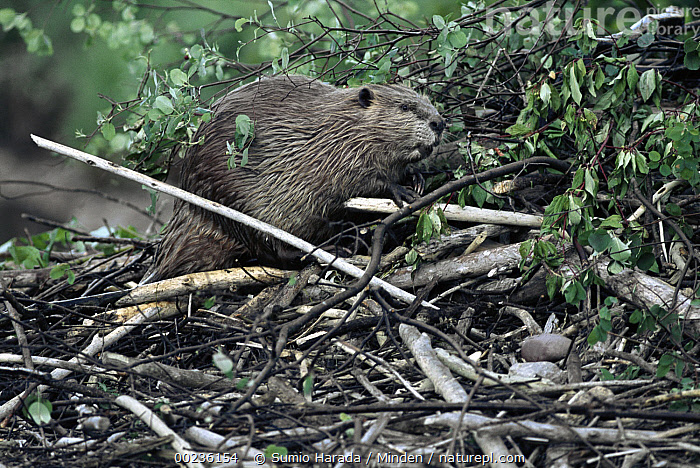 American Beaver (Castor canadensis) portrait, Rocky Mountains, North America, American Beaver, Castor canadensis, Color Image, Day, Full Length, Horizontal, Nobody, North America, One Animal, Outdoors, Photography, Rocky Mountains, Side View, Wildlife,American Beaver,North America, Sumio Harada