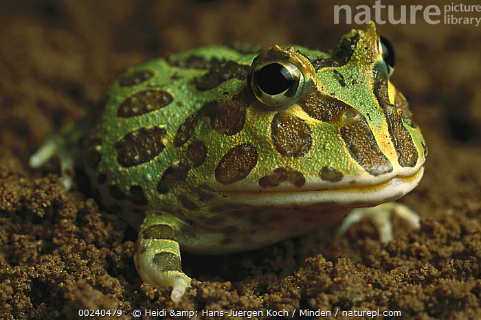 Cranwell's Horned Frog (Ceratophrys cranwelli) has a large mouth and voracious appetite, native to South America, Brown, Captive, Ceratophrys cranwelli, Close Up, Color Image, Cranwell's Horned Frog, Day, Frog, Front View, Green, Head and Shoulders, Horizontal, Mouth, Nobody, One Animal, Photography, Portrait, Skin, Spotted, Wildlife,Cranwell's Horned Frog, Heidi & Hans-Juergen Koch