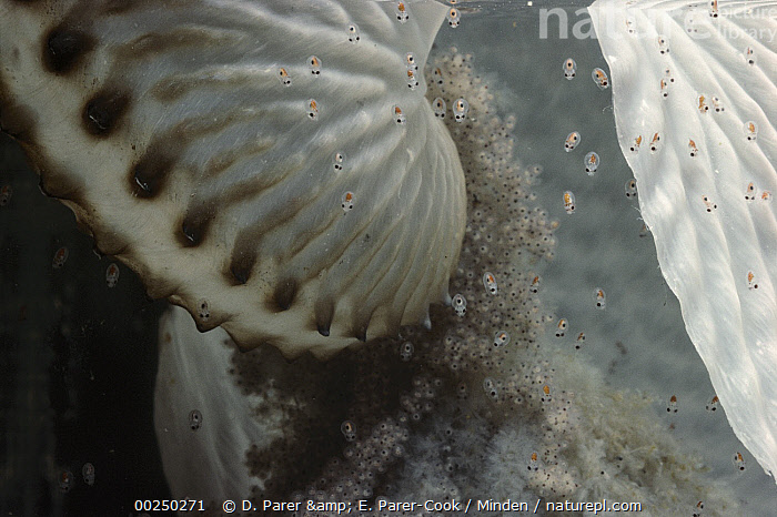 Paper Nautilus (Argonauta nodosa) eggs hatching, Port Phillip Bay, Victoria, Australia, Argonaut, Argonauta nodosa, Australia, Egg, Hatchling, Life Cycle, Paper Nautilus, Photography, Piping, Port Phillip Bay, Shell, Victoria, Wildlife,Paper Nautilus,Australia, D. Parer & E. Parer-Cook
