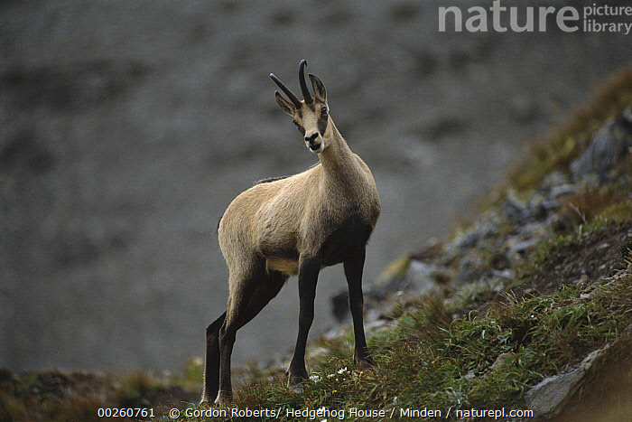 Chamois (Rupicapra rupicapra) buck in summer, New Zealand  ,  Adult, Buck, Chamois, Color Image, Day, Full Length, Horizontal, Looking at Camera, Male, New Zealand, Nobody, One Animal, Outdoors, Photography, Rupicapra rupicapra, Side View, Summer, Wildlife,Chamois,New Zealand  ,  Gordon Roberts