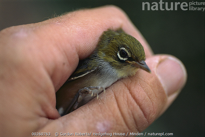 Silvereye (Zosterops lateralis) in hand about to be released, Nelson, New Zealand  ,  Adult, Color Image, Day, Hand, Horizontal, Nelson, New Zealand, One Animal, One Person, Outdoors, Photography, Side View, Silvereye, Songbird, Waist Up, Wildlife, Zosterops lateralis,Silvereye,New Zealand  ,  Gordon Roberts
