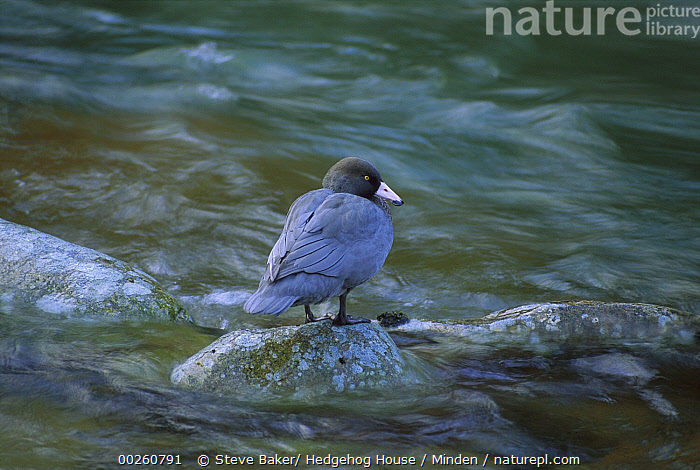 Blue Duck (Hymenolaimus malacorhynchos) standing on rock in stream, endangered, Kahurangi National Park, New Zealand  ,  Adult, Blue Duck, Color Image, Creek, Day, Endangered Species, Full Length, Horizontal, Hymenolaimus malacorhynchos, Kahurangi National Park, New Zealand, Nobody, One Animal, Outdoors, Photography, Rear View, Waterfowl, Wildlife,Blue Duck,New Zealand  ,  Steve Baker