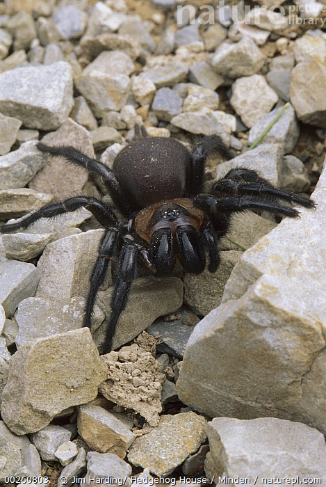 Tunnelweb Spider (Porrhothele antipodiana) walking over stones, Canterbury, New Zealand  ,  Adult, Canterbury, Color Image, Day, Front View, Full Length, High Angle View, New Zealand, Nobody, One Animal, Outdoors, Photography, Porrhothele antipodiana, Tunnelweb Spider, Vertical, Walking, Wildlife,Tunnelweb Spider,New Zealand  ,  Jim Harding