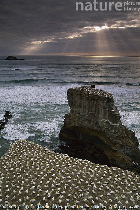 Australian Gannet (Morus serrator) nesting colony, Muriwai Beach, New Zealand  ,  Adult, Animal in Landscape, Australian Gannet, Coastline, Color Image, Day, Full Length, High Angle View, Large Group of Animals, Morus serrator, Muriwai Beach, Nesting Colony, New Zealand, Nobody, Outdoors, Photography, Sea Stack, Seabird, Vertical, Wildlife,Australian Gannet,New Zealand  ,  Jim Harding