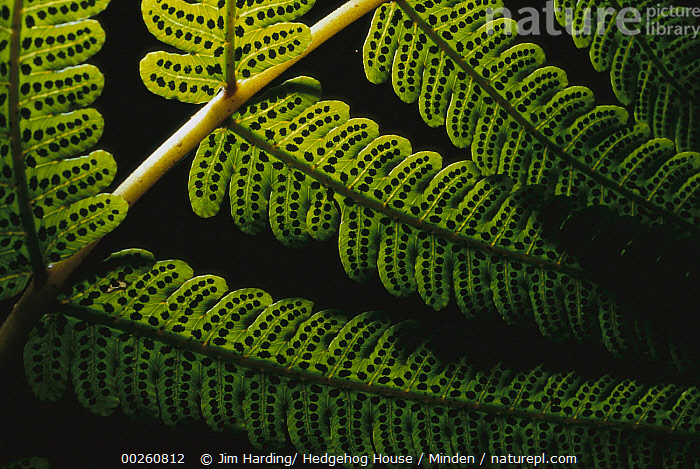 Fern frond showing spores, Karamea, South Island, New Zealand  ,  Close Up, Color Image, Day, Green, Horizontal, Karamea, New Zealand, Nobody, Outdoors, Photography, Plant, South Island, Spore, Underside,New Zealand  ,  Jim Harding