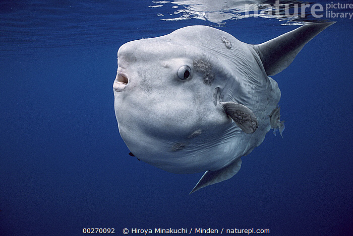 Ocean Sunfish (Mola mola) swimming near surface, Portugal  ,  Adult, Color Image, Day, Full Length, Horizontal, Looking at Camera, Mola mola, Nobody, Ocean Sunfish, One Animal, Outdoors, Photography, Portugal, Round, Side View, Underwater, Wildlife  ,  Hiroya Minakuchi