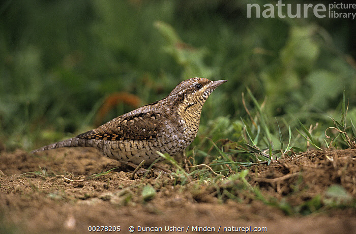 Eurasian Wryneck (Jynx torquilla) profile on ground, Europe  ,  Color Image, Day, Eurasian Wryneck, Europe, Horizontal, Jynx torquilla, Looking at Camera, Nobody, One Animal, Outdoors, Photography, Portrait, Profile, Side View, Three Quarter Length, Wildlife, Wryneck,Eurasian Wryneck,Europe,Color Image, Day, Eurasian Wryneck, Europe, Horizontal, Jynx torquilla, Looking at Camera, Nobody, One Animal, Outdoors, Photography, Portrait, Profile, Side View, Three Quarter Length, Wildlife, Wryneck  ,  Duncan Usher