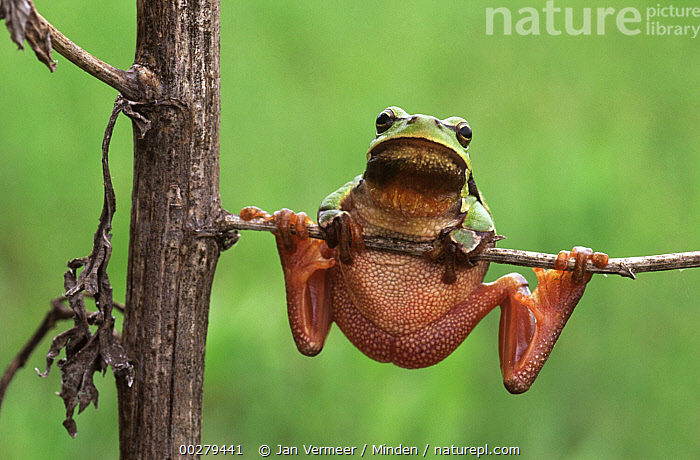 European Tree Frog (Hyla arborea) hanging on plant, Europe  ,  Adult, Close Up, Color Image, Day, Europe, European Tree Frog, Frog, Front View, Full Length, Hanging, Horizontal, Humor, Hyla arborea, Looking at Camera, Nobody, One Animal, Outdoors, Photography, Tree Frog, Wildlife,European Tree Frog,Europe,Adult, Close Up, Color Image, Day, Europe, European Tree Frog, Frog, Front View, Full Length, Hanging, Horizontal, Humor, Hyla arborea, Looking at Camera, Nobody, One Animal, Outdoors, Photography, Tree Frog, Wildlife  ,  Jan Vermeer