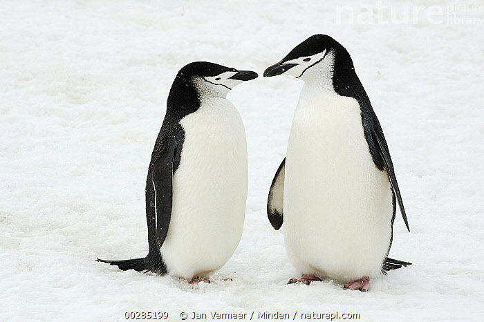 Chinstrap Penguin (Pygoscelis antarctica) pair courting, Southern Thule, South Sandwich Islands, Antarctica  ,  Affection, Antarctica, Chinstrap Penguin, Color Image, Courting, Courtship, Day, Female, Front View, Full Length, Horizontal, Interacting, Kissing, Looking at Camera, Male, Nobody, Outdoors, Photography, Polar Climate, Pygoscelis antarctica, Seabird, Snow, South Sandwich Islands, Southern Thule, Togetherness, Wildlife,Chinstrap Penguin,Antarctica,Affection, Antarctica, Chinstrap Penguin, Color Image, Courting, Courtship, Day, Female, Front View, Full Length, Horizontal, Interacting, Kissing, Looking at Camera, Male, Nobody, Outdoors, Photography, Polar Climate, Pygoscelis antarctica, Seabird, Snow, South Sandwich Islands, Southern Thule, Togetherness, Wildlife  ,  Jan Vermeer