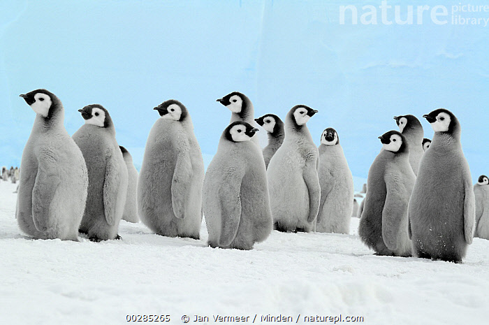 Emperor Penguin (Aptenodytes forsteri) chicks, Antarctica  ,  Antarctica, Aptenodytes forsteri, Baby, Chick, Color Image, Cute, Day, Downy, Emperor Penguin, Friendship, Front View, Full Length, Horizontal, Line, Medium Group of Animals, Nobody, Outdoors, Photography, Polar Climate, Seabird, Snow, Togetherness, Wildlife,Emperor Penguin,Antarctica,Antarctica, Aptenodytes forsteri, Baby, Chick, Color Image, Cute, Day, Downy, Emperor Penguin, Friendship, Front View, Full Length, Horizontal, Line, Medium Group of Animals, Nobody, Outdoors, Photography, Polar Climate, Seabird, Snow, Togetherness, Wildlife  ,  Jan Vermeer