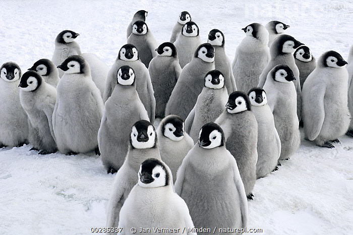 Emperor Penguin (Aptenodytes forsteri) chicks, Snow Hill Island, Antarctica  ,  Antarctica, Aptenodytes forsteri, Baby, Chick, Color Image, Conformity, Cute, Day, Downy, Emperor Penguin, Friendship, Front View, Horizontal, Large Group of Animals, Looking at Camera, Medium Group of Animals, Nobody, Outdoors, Photography, Polar Climate, Repetition, Seabird, Snow, Snow Hill Island, Togetherness, Wildlife,Emperor Penguin,Antarctica,Antarctica, Aptenodytes forsteri, Baby, Chick, Color Image, Conformity, Cute, Day, Downy, Emperor Penguin, Friendship, Front View, Horizontal, Large Group of Animals, Looking at Camera, Medium Group of Animals, Nobody, Outdoors, Photography, Polar Climate, Repetition, Seabird, Snow, Snow Hill Island, Togetherness, Wildlife  ,  Jan Vermeer