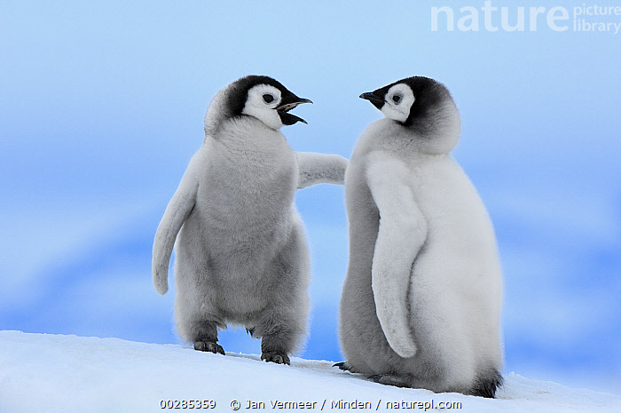 Emperor Penguin (Aptenodytes forsteri) chick pair, Snow Hill Island, Antarctica  ,  Affection, Antarctica, Aptenodytes forsteri, Baby, Calling, Chick, Color Image, Communicating, Cute, Day, Downy, Emperor Penguin, Friend, Friendship, Front View, Full Length, Horizontal, Interacting, Nobody, Outdoors, Photography, Polar Climate, Seabird, Side View, Snow, Snow Hill Island, Two Animals, Wildlife,Emperor Penguin, , ,Antarctica  ,  Jan Vermeer