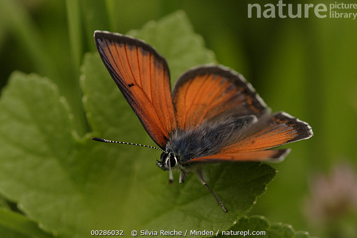 Purple-edged Copper (Lycaena hippothoe) butterfly, Germany  ,  Adult, Butterfly, Color Image, Day, Full Length, Germany, High Angle View, Horizontal, Lycaena hippothoe, Nobody, One Animal, Outdoors, Photography, Purple-edged Copper, Side View, Wildlife,Purple-edged Copper,Germany,Adult, Butterfly, Color Image, Day, Full Length, Germany, High Angle View, Horizontal, Lycaena hippothoe, Nobody, One Animal, Outdoors, Photography, Purple-edged Copper, Side View, Wildlife  ,  Silvia Reiche