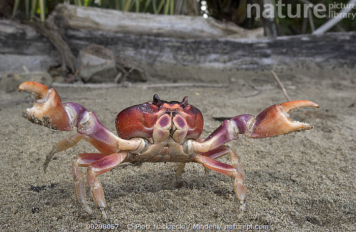 Black Land Crab (Gecarcinus ruricola) bright coloration combined with a pair of powerful claws make for a convincing threat display, Costa Rica  ,  Adult, Claw, Color Image, Costa Rica, Courting, Day, Defending, Defensive Posture, Front View, Full Length, Gecarcinus ruricola, Horizontal, Humor, ILCP, Nobody, One Animal, Photography, Pincher, Purple Land Crab, Red, Threatening, Wide-angle Lens, Wildlife,Black Land Crab,Costa Rica,Adult, Claw, Color Image, Costa Rica, Courting, Day, Defending, Defensive Posture, Front View, Full Length, Gecarcinus ruricola, Horizontal, Humor, ILCP, Nobody, One Animal, Photography, Pincher, Purple Land Crab, Red, Threatening, Wide-angle Lens, Wildlife  ,  Piotr Naskrecki