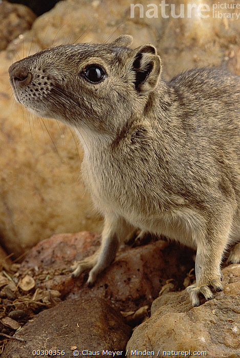 Rock Cavy (Kerodon rupestris) ecosystem of Caatinga, Brazil  ,  Brazil, Caatinga, Close Up, Color Image, Cute, Day, Ecosystem, Head and Shoulders, Kerodon rupestris, Looking at Camera, Nobody, One Animal, Photography, Portrait, Profile, Rock Cavy, Side View, Vertical, Wildlife,Rock Cavy,Brazil  ,  Claus Meyer