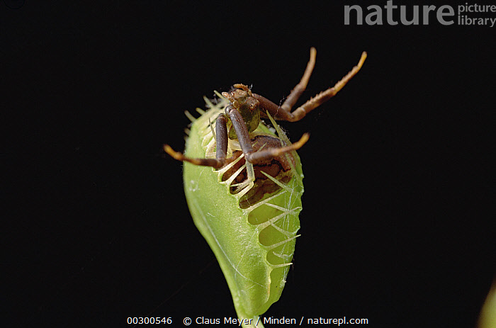 Venus Fly Trap (Dionaea muscipula) with captured spider, southern Brazil  ,  Brazil, Carnivorous, Close Up, Color Image, Full Length, Horizontal, Insectivorous, Nobody, One Animal, Photography, Trapping,Venus Fly Trap,Brazil  ,  Claus Meyer