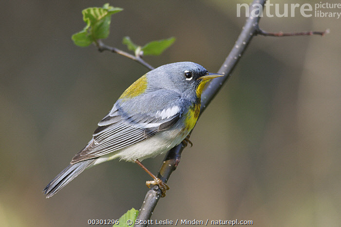 Northern Parula (Setophaga americana) male in breeding plumage, Nova Scotia, Canada  ,  Adult, Breeding Plumage, Canada, Color Image, Day, Full Length, Horizontal, Male, Nobody, Northern Parula, Nova Scotia, One Animal, Outdoors, Photography, Setophaga americana, Side View, Songbird, Wildlife,Northern Parula,Canada,Adult, Breeding Plumage, Canada, Color Image, Day, Full Length, Horizontal, Male, Nobody, Northern Parula, Nova Scotia, One Animal, Outdoors, Photography, Setophaga americana, Side View, Songbird, Wildlife  ,  Scott Leslie
