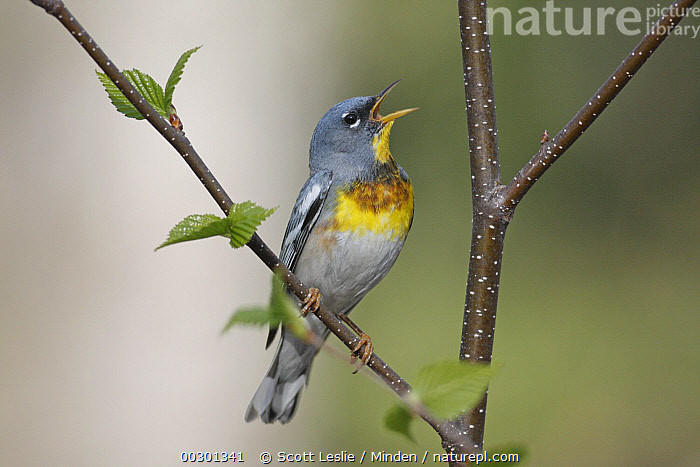 Northern Parula (Setophaga americana) male singing territorial spring song, Nova Scotia, Canada  ,  Adult, Calling, Canada, Color Image, Day, Full Length, Horizontal, Male, Nobody, Northern Parula, Nova Scotia, One Animal, Open Mouth, Outdoors, Photography, Setophaga americana, Side View, Singing, Songbird, Territorial, Wildlife,Northern Parula,Canada,Adult, Calling, Canada, Color Image, Day, Full Length, Horizontal, Male, Nobody, Northern Parula, Nova Scotia, One Animal, Open Mouth, Outdoors, Photography, Setophaga americana, Side View, Singing, Songbird, Territorial, Wildlife  ,  Scott Leslie