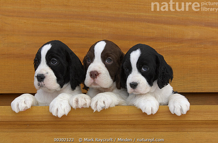 English Springer Spaniel (Canis familiaris) puppies  ,  Baby, Canis familiaris, Color Image, Cute, Day, Domestic Dog, English Springer Spaniel, Front View, Head and Shoulders, Horizontal, Looking at Camera, Nobody, Outdoors, Pet, Photography, Puppy, Three Animals,English Springer Spaniel,Canada  ,  Mark Raycroft