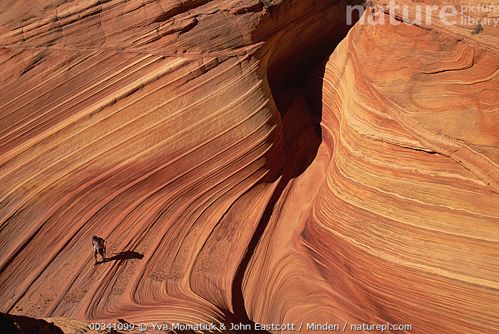 Lone hiker walking along the base of a sandstone butte strong pattern of wavy lines in petrified sand dunes are exposed by erosion, Vermilion Cliffs National Monument, Colorado Plateau, Utah, Color Image, Colorado Plateau, Day, Dune, Erosion, Full Length, High Angle View, Hiker, Hiking, Homo sapiens, Horizontal, Human, John Eastcott, One Person, Outdoors, Person, Photography, Small, Solitude, USA, Utah, Vermilion Cliffs National Monument, , , ,Utah, USA, Yva Momatiuk & John Eastcott