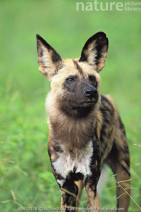 African Wild Dog (Lycaon pictus) portrait, Chobe National Park, Botswana, Adult, African Wild Dog, Alert, Botswana, Chobe National Park, Color Image, Day, Endangered Species, Front View, Looking at Camera, Lycaon pictus, Nobody, One Animal, Outdoors, Photography, Three Quarter Length, Vertical, Wildlife, Richard Du Toit