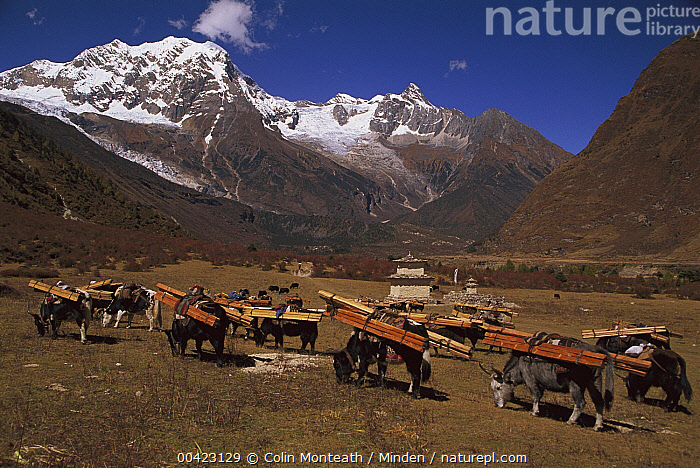 Yak (Bos grunniens mutus) caravan loaded with timber, Nepal, Adult, Alpine Habitat, Bos grunniens mutus, Carrying, Color Image, Day, Domesticated, Full Length, Grazing, Himalayan Mountains, Horizontal, Landscape, Medium Group of Animals, Nepal, Nobody, Outdoors, Photography, Side View, Temple, Timber, Yak,Yak,Nepal, Colin Monteath