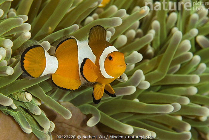 Clown Anemonefish (Amphiprion ocellaris) among stinging tentacles of anemone, Komodo Island, Indonesia  ,  Adult, Amphiprion ocellaris, Anemone, Clown Anemonefish, Color Image, Day, Full Length, Horizontal, Komodo Island, Nobody, One Animal, Outdoors, Photography, Protection, Side View, Symbiosis, Tentacle, Underwater, Wildlife,Clown Anemonefish,Indonesia  ,  Norbert Wu