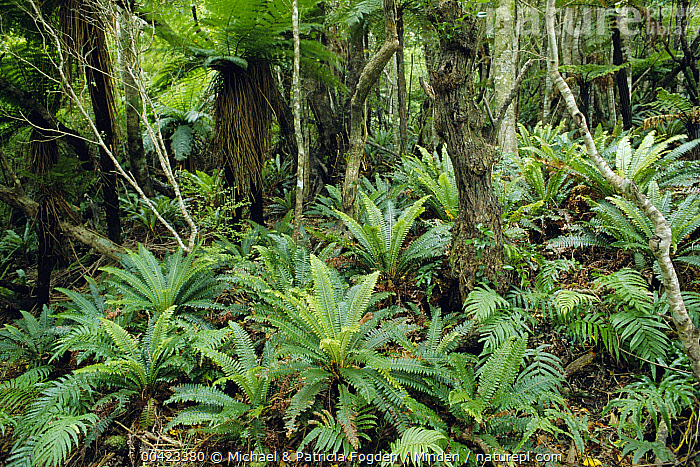 Tree Fern (Dicksonia sp) and ground cover of Crown Ferns (Blechnum discolor) in temperate rainforest, Stewart Island, New Zealand  ,  Blechnum discolor, Color Image, Crown Fern, Day, Horizontal, Interior, Landscape, Lush, New Zealand, Nobody, Outdoors, Photography, Stewart Island, Temperate Rainforest,Tree Fern,Crown Fern,Blechnum discolor,New Zealand  ,  Michael & Patricia Fogden