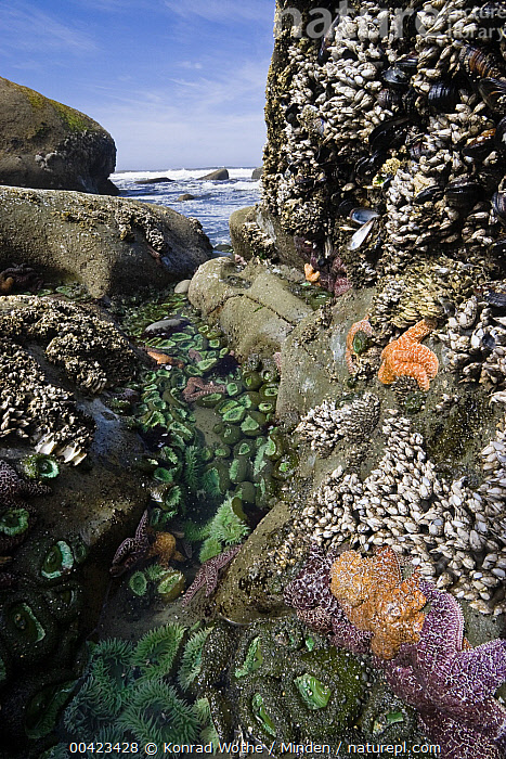 Giant Green Sea Anemone (Anthopleura xanthogrammica) group, Goose Barnacles (Lepas anserifera) group and Ochre Sea Stars (Pisaster ochraceus) at low tide, Olympic National Park, Washington  ,  Animal in Habitat, Anthopleura xanthogrammica, Biodiversity, Coastline, Color Image, Day, Giant Green Sea Anemone, Goose Barnacle, Intertidal, Large Group of Animals, Low Tide, Nobody, Olympic National Park, Outdoors, Photography, Pisaster ochraceus, Sea Star, Side View, Tidepool, Vertical, Washington, Wildlife,Giant Green Sea Anemone,Washington, USA  ,  Konrad Wothe