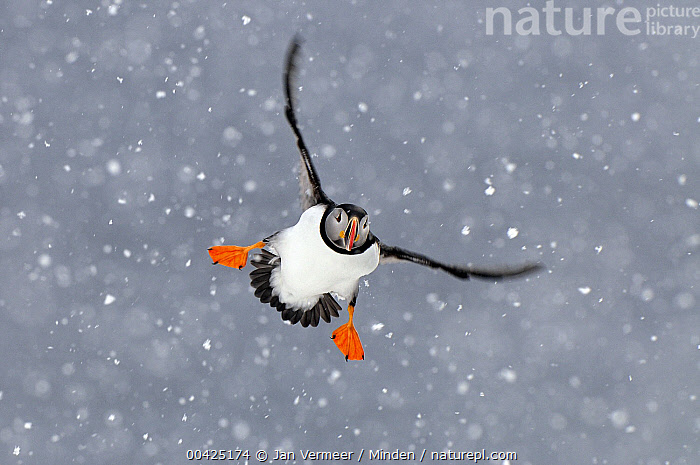 Atlantic Puffin (Fratercula arctica) flying in heavy snowfall, Norway  ,  Adult, Atlantic Puffin, Color Image, Day, Flying, Fratercula arctica, Front View, Full Length, Horizontal, Motion, Nobody, Norway, One Animal, Outdoors, Photography, Seabird, Snowing, Wildlife,Atlantic Puffin,Norway  ,  Jan Vermeer
