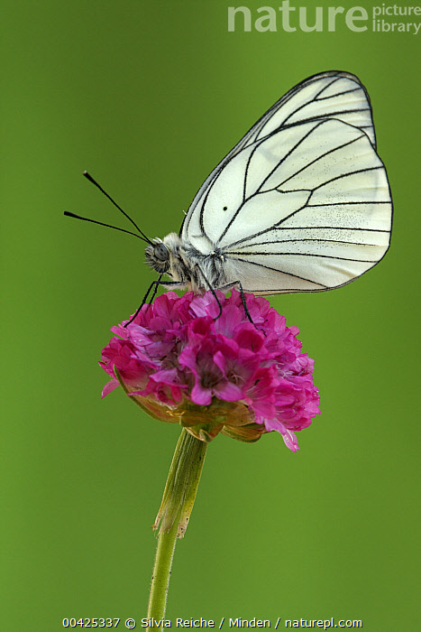 Black-veined White (Aporia crataegi) butterfly on Sea Thrift (Armeria maritima), Hoogeloon, Netherlands  ,  Aporia crataegi, Armeria maritima, Black-veined White, Butterfly, Color Image, Day, Flower, Full Length, Hoogeloon, Life Cycle, Netherlands, Nobody, One Animal, Outdoors, Photography, Sea Thrift, Side View, Vertical, Wildlife,Black-veined White,Sea Thrift,Armeria maritima,Netherlands  ,  Silvia Reiche