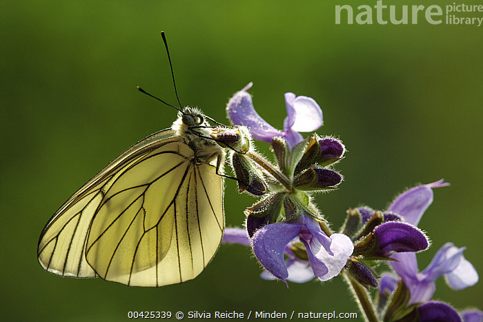 Black-veined White (Aporia crataegi) butterfly on Meadow Clary (Salvia pratensis), Hoogeloon, Netherlands  ,  Adult, Aporia crataegi, Black-veined White, Butterfly, Color Image, Day, Flower, Full Length, Hoogeloon, Horizontal, Meadow Clary, Netherlands, Nobody, One Animal, Outdoors, Photography, Salvia pratensis, Side View, Wildlife,Black-veined White,Meadow Clary,Salvia pratensis,Netherlands  ,  Silvia Reiche