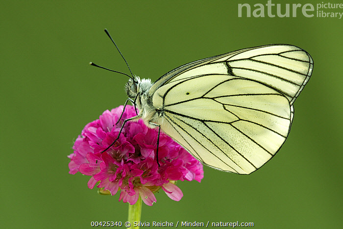 Black-veined White (Aporia crataegi) butterfly on Sea Thrift (Armeria maritima), Hoogeloon, Netherlands  ,  Adult, Aporia crataegi, Armeria maritima, Black-veined White, Butterfly, Color Image, Day, Full Length, Hoogeloon, Horizontal, Life Cycle, Netherlands, Nobody, One Animal, Outdoors, Photography, Sea Thrift, Side View, Wildlife,Black-veined White,Sea Thrift,Armeria maritima,Netherlands  ,  Silvia Reiche