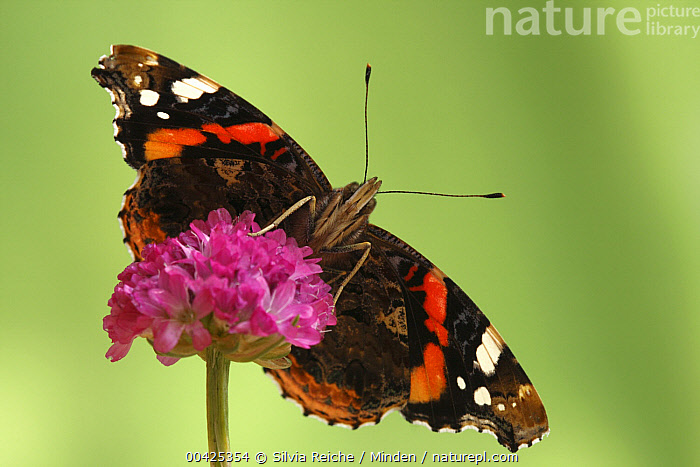 Red Admiral (Vanessa atalanta), Hoogeloon, Netherlands. Sequence 13 of 14  ,  Adult, Color Image, Day, Flower, Full Length, Hoogeloon, Horizontal, Life Cycle, Netherlands, Nobody, One Animal, Outdoors, Photography, Red Admiral, Series, Sequence, Underside, Vanessa atalanta, Wildlife,Red Admiral,Netherlands  ,  Silvia Reiche