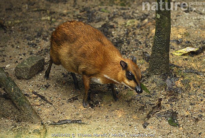 Lesser Malay Mouse Deer (Tragulus javanicus) in rainforest understory, Malaysia  ,  Adult, Color Image, Day, Full Length, Horizontal, ILCP, Lesser Malay Mouse Deer, Malaysia, Nobody, One Animal, Outdoors, Photography, Side View, Tragulus javanicus, Wildlife,Lesser Malay Mouse Deer,Malaysia  ,  Thomas Marent